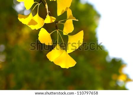 photo of autumn ginkgo branch