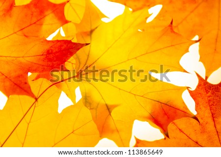 Photo of autumn leaves of the Canadian maple