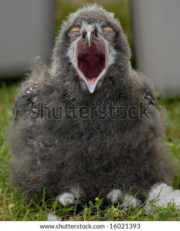 Photo of baby Snowy Owl - stock photo