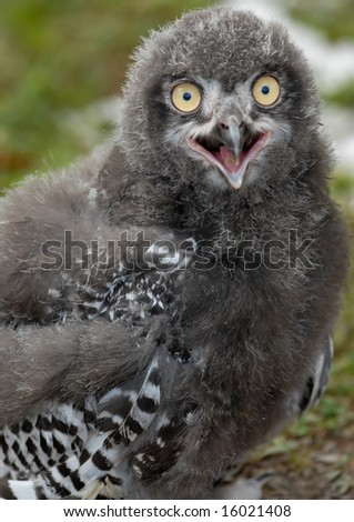 Photo of baby Snowy Owl