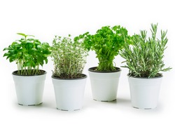 Photo of basil, thyme, parsley and rosemary in white pots over a white background.