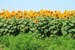 Photo of  beautiful bright colored  sunflowers and green plants.
