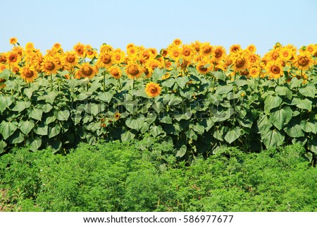 Photo of  beautiful bright colored  sunflowers and green plants. #586977677
