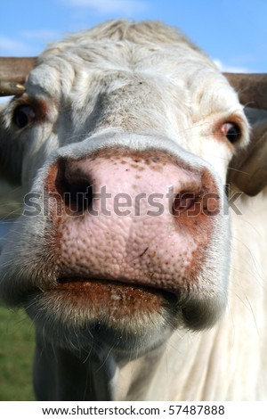 Photo of beautiful brown cow in a field, Portuguese Arouca Cow