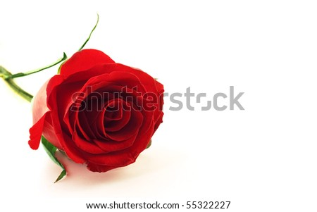 stock photo : Photo of beautiful red rose flower