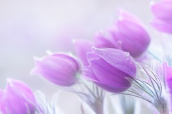 Photo of beautiful spring pulsatillas. They are often called Pasque, Easter or Wind flower, prairie crocus, dream grass and meadow anemone. Selective focus.