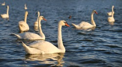 Photo of beautiful swans on a lake in the sunny afternoon