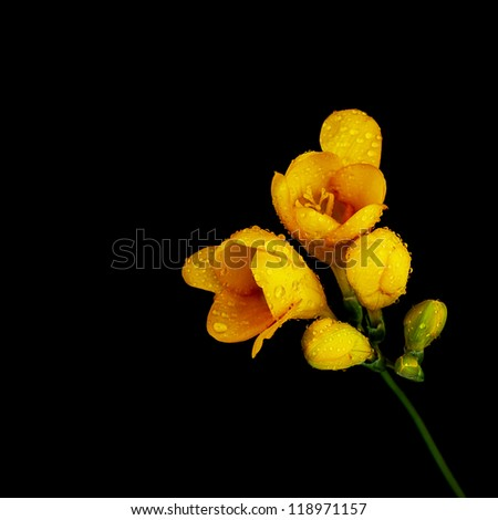 Photo of beautiful yellow flower isolated on black background, blooming season, decorative floral bouquet, dew drops on pretty plant petals, romantic gift on valentine day, orange wildflower