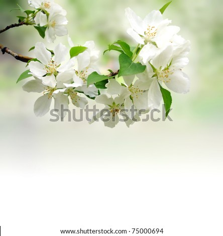 photo of blossoming tree brunch with white flowers on bokeh green background