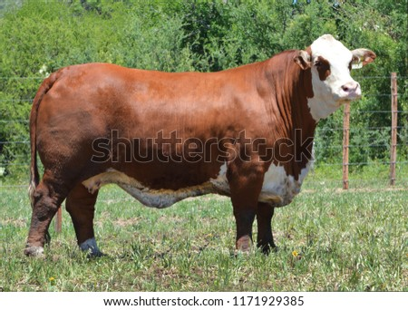 Photo of Braford.  It is a kind of cattle mix from Brahman and Hereford