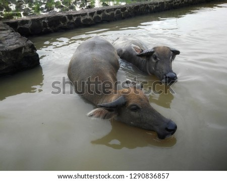 photo of buffalo , male and female buffalo bathing