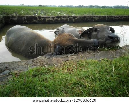 photo of buffalo , male and female buffalo bathing, romantic animal