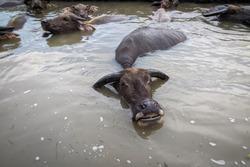 Photo of buffalo soaking in water.