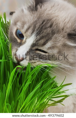 Photo of cat chewing a grass