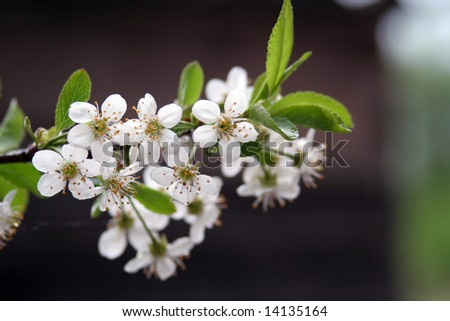 Photo of cherry flower in the tree