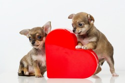 photo of cute puppies Chihuahua with red heart