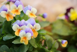 photo of delicate purple and yellow pansy flowers in the garden. Close up, selective focus
