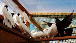 Photo of domestic pigeons in an aviary on a clear summer day. Dovecote with live pigeons of white and black colors. Breeding and keeping of domestic pigeons.