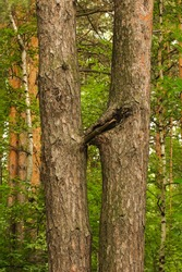 Photo of double pine tree trunks