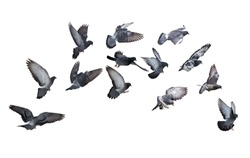 photo of doves isolated on white background