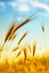 Photo of ear of wheat with bright sun and blue sky