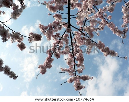 photo of early blooming Cherry Blossoms in Washington, DC during the beginning of Spring
