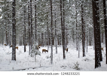 Photo of elk and aspens in snow, Oregon, USA. Winter landscape.