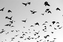 Photo of flying black silhouettes of birds in the sky