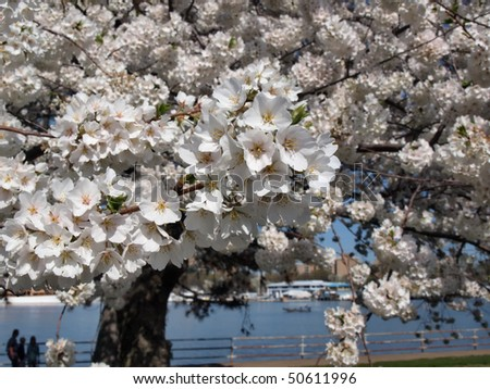 photo of full blooming Cherry Blossoms in Washington, DC during the beginning of Spring