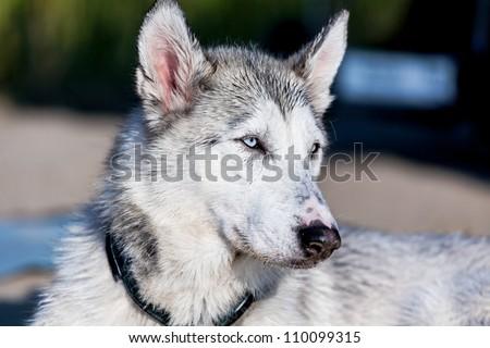 Photo of furry husky dog ion a leash