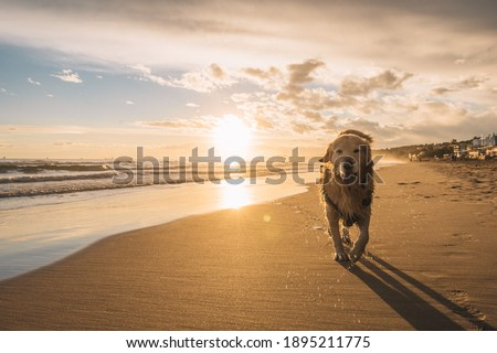 Photo of golden retriever walking on sand beach. Happy dog wet after swimming run with water splashes along sea surf. in spain catalonia Foto stock ©