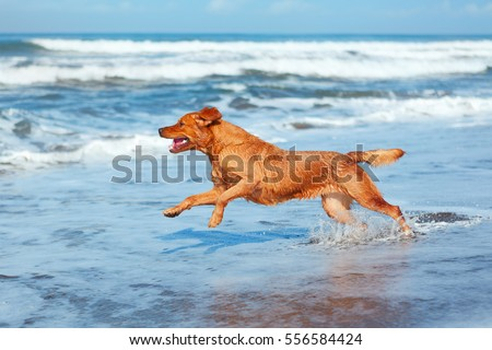 Photo of golden retriever walking on sand beach. Happy dog wet after swimming run with water splashes along sea surf. Actions, training games with family pets and popular dog breed on summer vacation