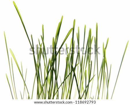 Photo of Grass isolated on White/Green grass isolated on White/Grass isolated on White
