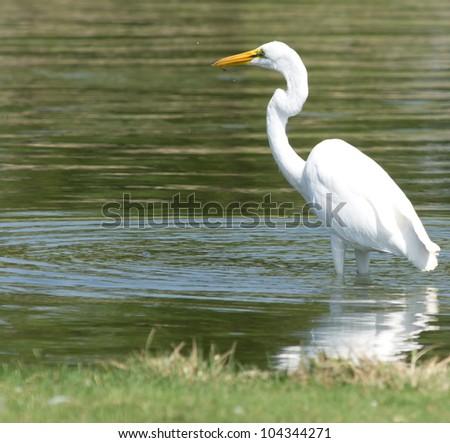 Photo of Great White Egret taken at Goldenwest Park in Huntington Beach, California