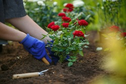 Photo of hands of young agronomist planting red roses in garden