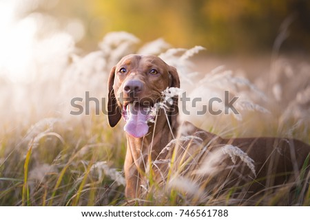 Photo of Head of hungarian hound dog in evening sunset