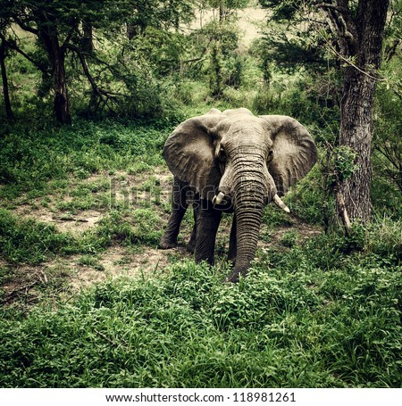 Photo of huge elephant graze in fresh green woods, big african animal, drive game, national park, jungle forest, reserve and conservation, large wild mammal, travel and tourism concept