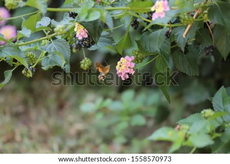 photo of hummingbird-hawk moth beetle on flower