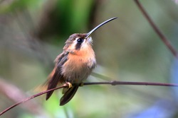 photo of hummingbird (Reddish Hermit) perched on a branch with blurred background