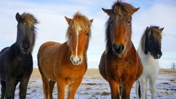 Photo of Icelandic horse taken while road trip in south part of Iceland