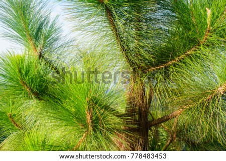 photo of loblolly pine branches #778483453