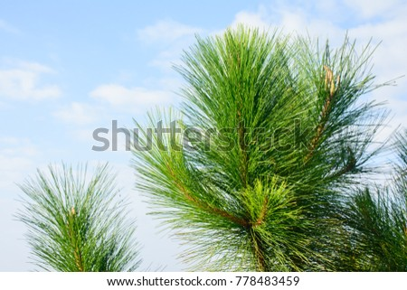photo of loblolly pine branches #778483459