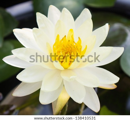 Photo of Lotus blossoms or water lily flowers blooming