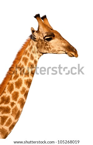 Photo of male Masai Giraffe (Giraffa camelopardalis) in the Moremi Game Reserve, Botswana, Africa standing, with Oxpecker bird on head, looking away from the camera and isolated on a white background.