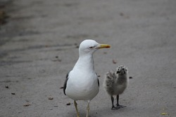 Photo of mother and baby seagull on the pavement