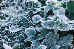 Photo of nettle mint leaves covered with frost. Close up partial focus. High quality photo