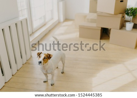 Photo of pedigree russel terrier dog poses in empty spacious room, removes in new place of living with their hosts, stack of cardboard boxes in background. Animals, home and Moving Day concept #1524445385