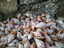 Photo of pile of snail shells next to stone wall.