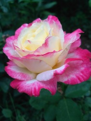 Photo of pink and white rose flower