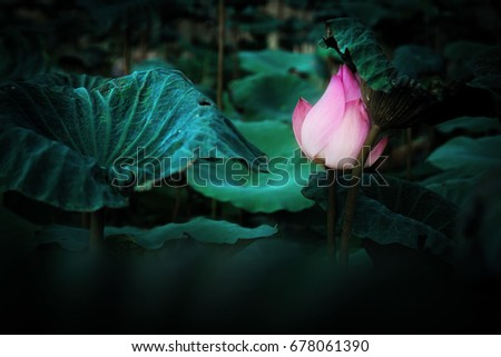 Photo of Pink lotus flower  in the pool have dark tone for background texture #678061390